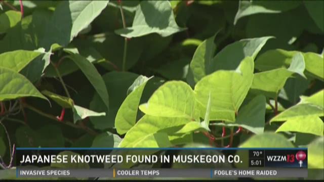Muskegon Co. working to eradicate invasive Japanese knotweed
